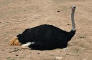 Stock Photo of wild ostrich