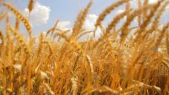 Wheat Field Caressed by Wind Crane Shot NAture Background Health Concept HD - stock footage