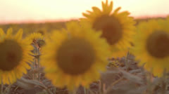 Sunflowers at sunset Stock Footage