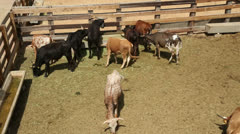 Young longhorn cattle, fort worth stockyards, texas, usa Stock Footage