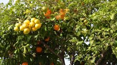 Stock Video Footage of Orange tree in Spain. Chipiona, the city in Andalusia, Spain.