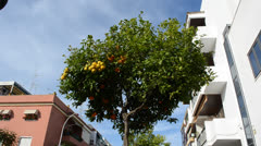 Orange tree in Spain. Chipiona, the city in Andalusia, Spain. Stock Footage