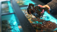 Stock Video Footage of Restaurateur shows living river crawfish, puts them in aquarium