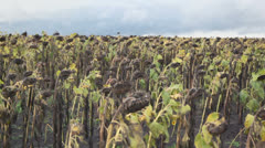 Withered sunflowers on field under cloudy sky at summer day - stock footage
