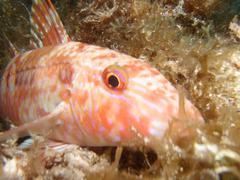 Red Goatfish (Pseudupeneus maculatus) Stock Photos