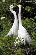 great egrets (ardea alba) - stock photo