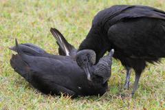 Pair of black vultures Stock Photos