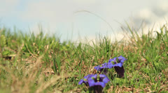 Gentian flowers at swiss alps field  Stock Footage
