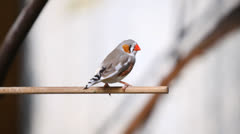 Cute colored little Zebra Finch bird on a branch Stock Footage