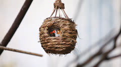 Orange cheecked Waxbill birds in small suspended cage Stock Footage