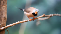 Cute colored Poephila Cincta  bird on a branch Stock Footage