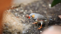 Cute little Zebra Finch bird dismantle a nest Stock Footage