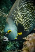 angelfish - stock photo