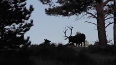 Elk on side of mountian.mp4 Stock Footage