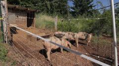 Pigs Eating Fresh Organic Greens Stock Footage