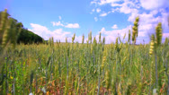 Stock Video Footage of Wheat field with  blue sky and clouds.  Dolly  shot