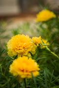 Yellow portulaca flower Stock Photos
