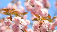 Stock Video Footage of Cherry blossom with blue sky.