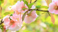 Spring blossoms. Stock Footage