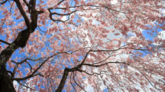 Cherry blossom. Stock Footage