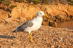 Stock Photo of lesser black-backed gull