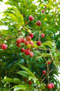 Red lychee Stock Photos