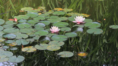 Lotuses and waterlilies Stock Footage