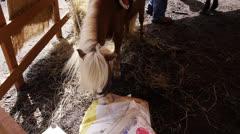 Hungry midget pony horse Stock Footage