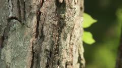 Harlequin Darner (Gomphaeschna furcillata) Dragonfly - Male 4 Stock Footage