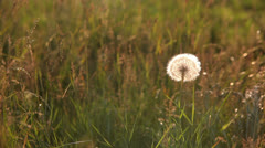 Field and one dandelion at sunset Stock Footage