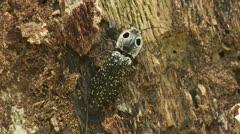 Eyed Click Beetle (Alaus oculatus) 1 Stock Footage
