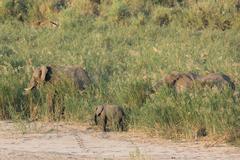 african elephant - loxodonta africana - stock photo