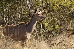 greater kudu cow - tragelaphus strepsiceros - stock photo