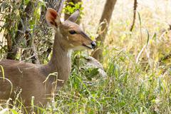 bush buck - tragelaphus sylvaticus - stock photo