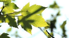 Sun through leaves Stock Footage