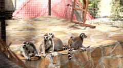 Lemur Family Stock Footage
