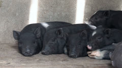 Black Pig Family Stock Footage
