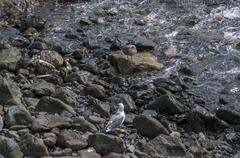 Seagull with its prey Stock Photos