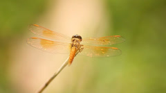 Dragonfly - stock footage