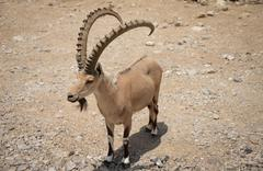 Ibex Encounter - stock photo