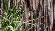 Stock Video Footage of Reed Wall with a Clump of Leaves 2