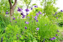 Stock Photo of beautiful violet bellflowers