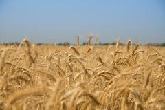 Golden Wheat in Israeli field Stock Photos