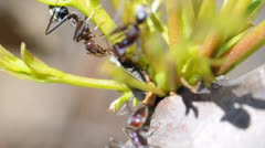 Ants Milking an Aphid Stock Footage