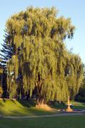 willow - stock photo