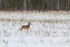 photo hunting for deer (capreolus). winter forest. - stock photo