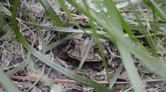 Toad Hiding Under Grass and Dirt Stock Footage