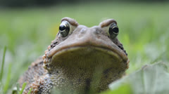 Upclose Shot of Toad Breathing Stock Footage