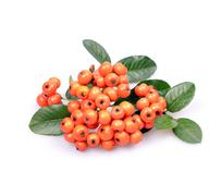 pyracantha firethorn orange berries with green leaves - stock photo