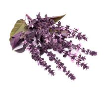 color fresh purple basil /ocimum basilicum/ isolated on white background - stock photo